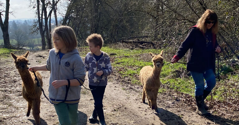 Two boys and a woman each take an alpaca for a walk.